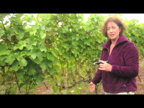Fruit Maturity Sampling in Wine Grapes - Part 2