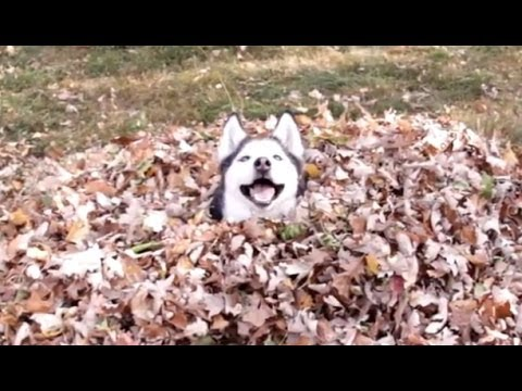 Funny Dogs Playing in Leaves Compilation 2013 [NEW HD]