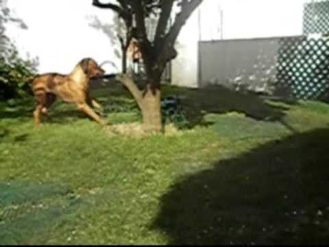 Lion attack a car - Buda da Quinta de Ferdais