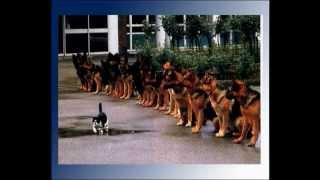 Видео - Немецкая овчарка
