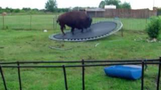 Banteng ini lompat ke trampolin