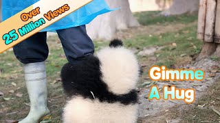Panda wants a hug from nanny, but nanny is working