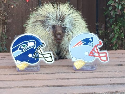 Teddy Bear the Porcupine Predicts Super Bowl XLIX Winner
