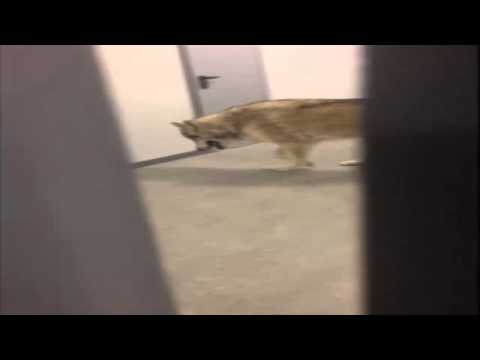 VIDEO. Sotchi : une athlète croit voir un loup Sochi: an athlete thinks he sees a wolf to his room