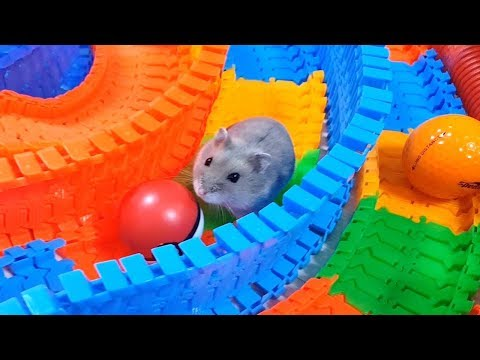 My Funny Pet Hamster in Large Circle Maze - Obstacle Course for Hamster