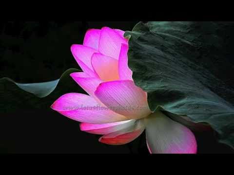 Amazing Lotus Flower Photos  ( Part # 2 )
