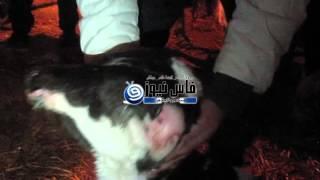 بالفيديو : عجلة برأسين سبحان الله | زووم