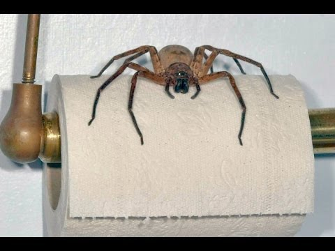 Giant Spider LIVES In My Bathroom!! BACKPACKER WARNING!