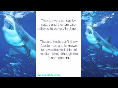 Information about the Great White Shark