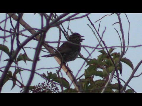 Song Sparrow Jamaica Bay Wildlife Refuge