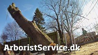 "Big Tree Removal Using Rigging & Stihl 880/59"" Bar With"