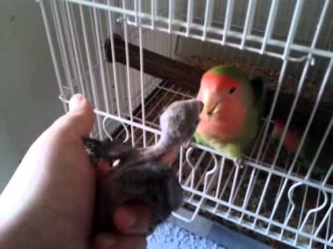 Agapornis salvaje cebando a su cría en mi mano