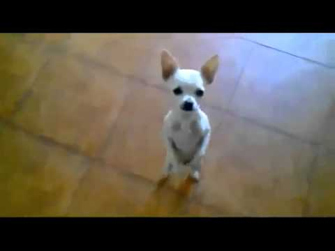 Perros Graciosos para morir de Risa ★Vídeos de Risa 2014★