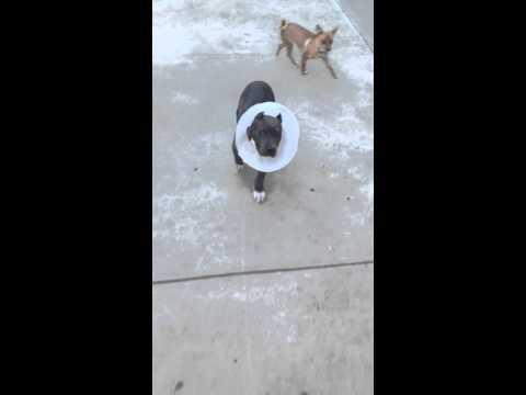 Pitbull puppy ear cropping