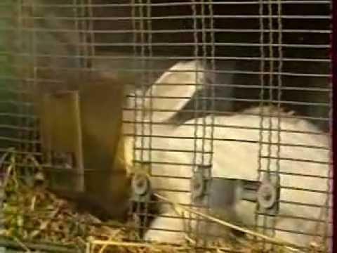 Bel Angora - élevage de lapins angora