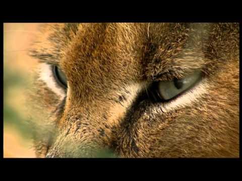Natural Killers - Caracal, felini all'attacco (trailer ita HD)