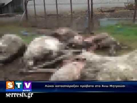 Λύκοι κατασπάραξαν πρόβατα