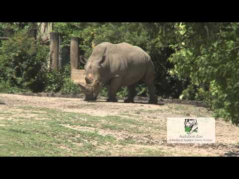 Audubon Zoo Welcomes White Rhino