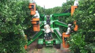 Mandarin Harvest Picking