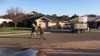 Wild Kangaroos Fight Each Other On Street With Great Style in Autralia