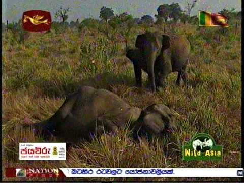 Wild Asia Sri lanka Rupavahini - Elephant Treatment