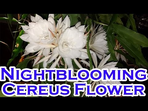 Nightblooming Cereus (Hoa quỳnh)