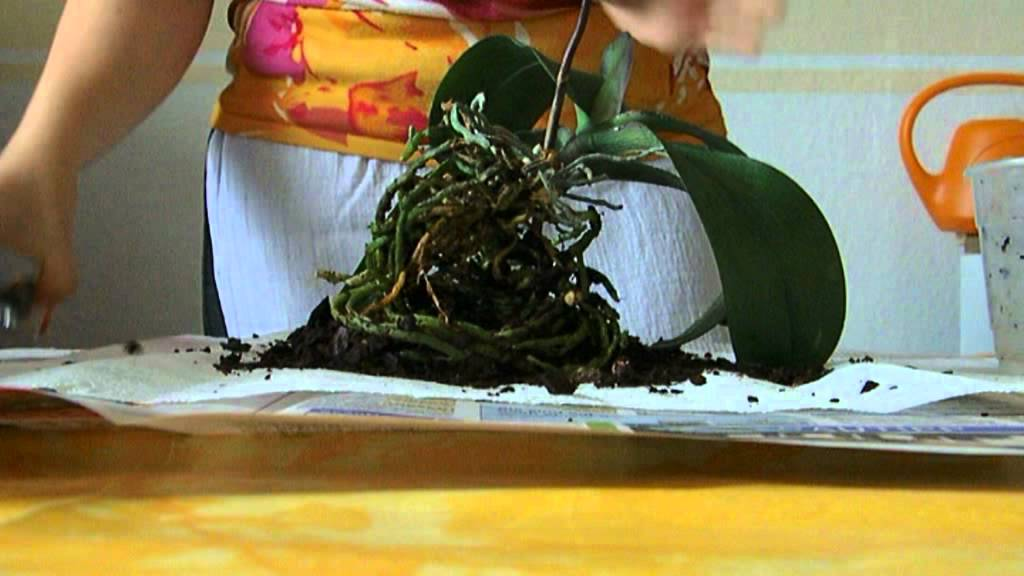 orchideen richtig umtopfen schneiden 1 2 youtube. Black Bedroom Furniture Sets. Home Design Ideas