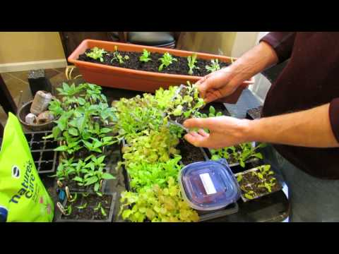 Over-Seeding Method for Loose Leaf Lettuce Transplants: The Whole Process!