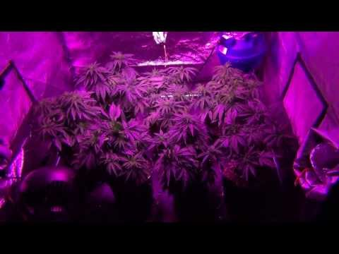 California Lightworks 800W Solarstorm - exoticgenetix (Afterlife OG) / DNA Genetics (Tangie) Day 43