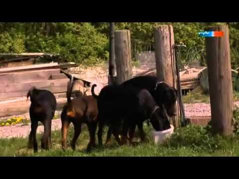 Video zu Dobermann
