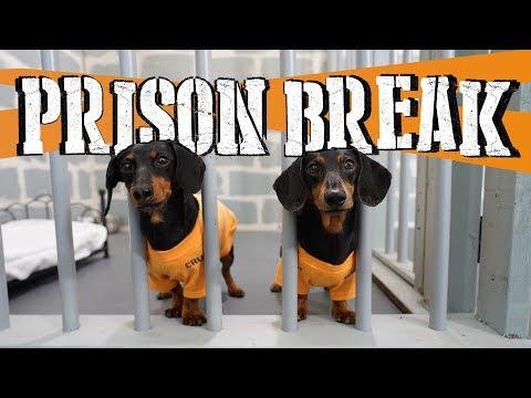 Ep 8: WIENER DOG PRISON BREAK - Funny Dogs Escaping Jail!