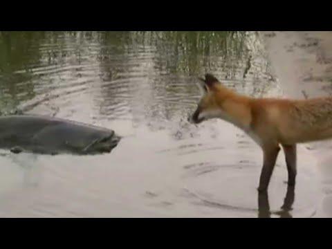 Le renard veut manger un silure