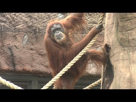 Oregon Zoo Red Ape Reserve History (Orangutans)