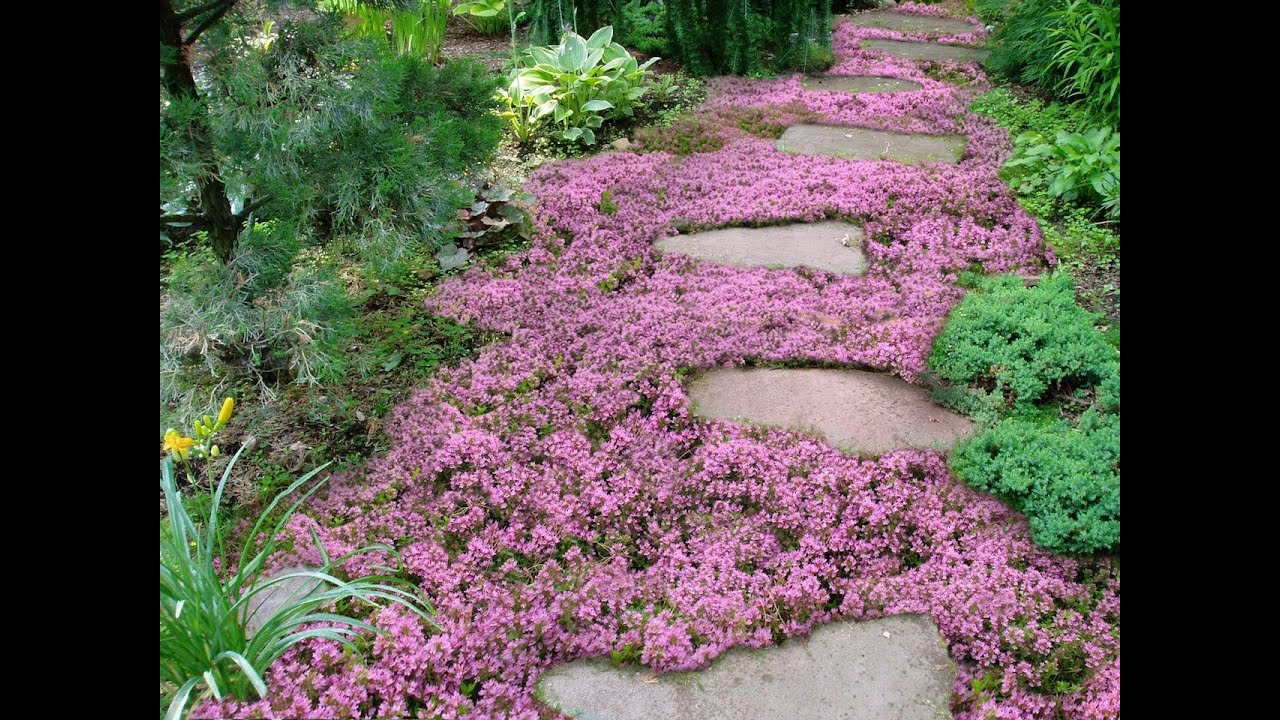Live mulch how to plant sweet and low flowering ground for Best low growing groundcover for full sun