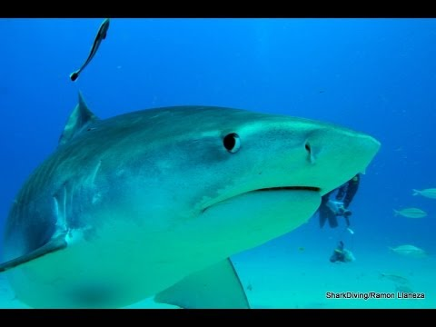 Shark Diving The Curious & Friendly Tiger Shark