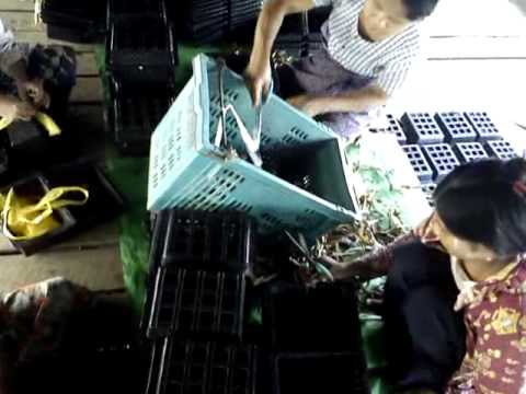 Soft Shell Crab farming (100Hectares )  AMK  Co., in Yangon , Myanmar.