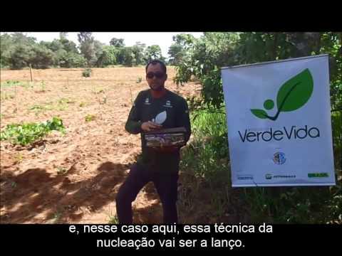 Reflorestamento por técnica a lanço