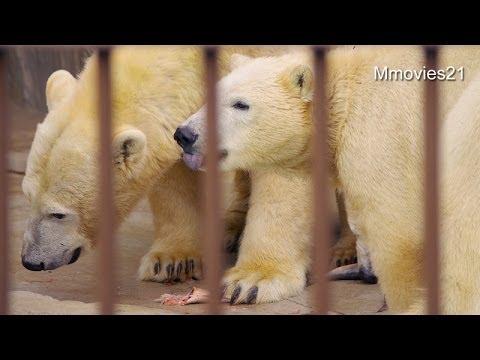 ホッキョクグマ親子の朝ごはん~Polar Bears are eating