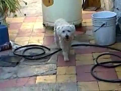 perro se cura de parvovirus