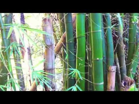 Bamboo, langue arhö/Arhö language
