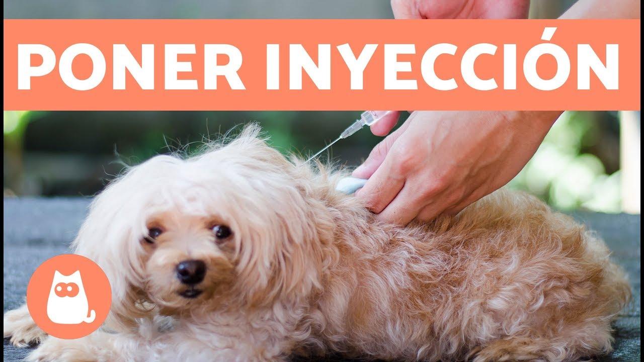 C mo poner una inyecci n al perro youtube - Como banar a un perro ...