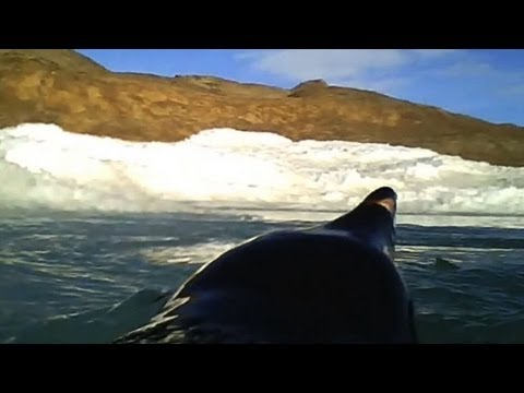 Câmeras mostram pinguins caçando