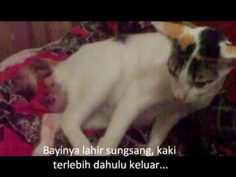 Perjuangan Induk Kucing Melahirkan Anaknya