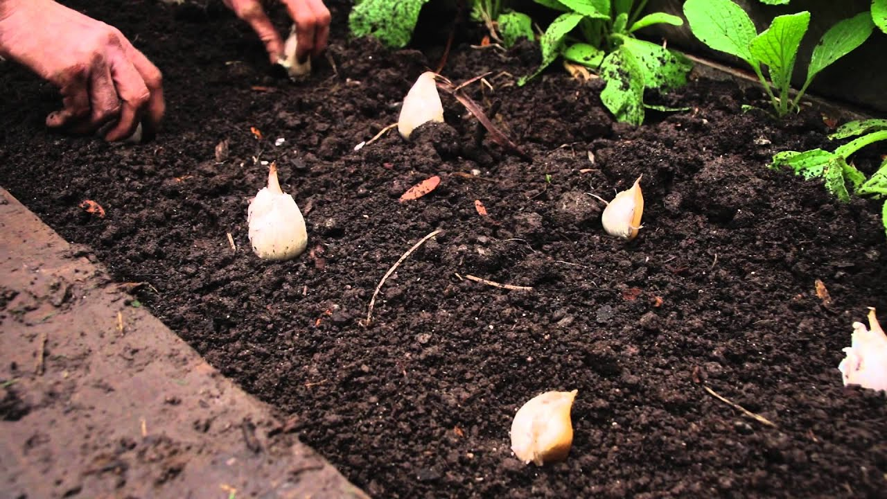 How to plant garlic youtube for Planting a garden