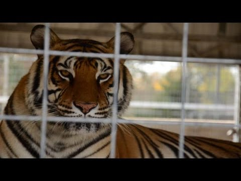 Tigers and Public in Danger at Roadside Zoo