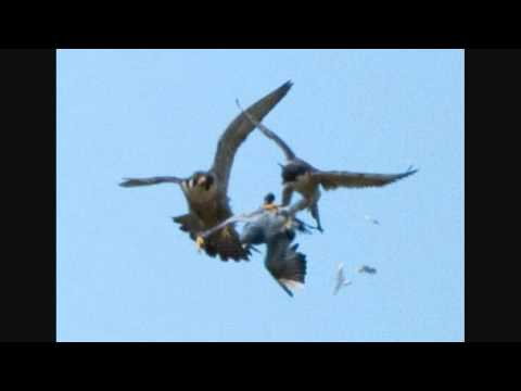Still shots of Peregrine Falcons catching a Pigeon.