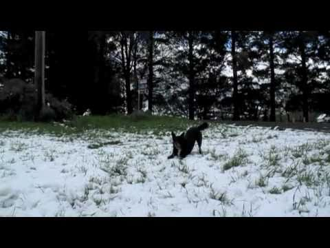 labrador and border collie-kelpie cross playing in snow for first time on dogdownunder.com