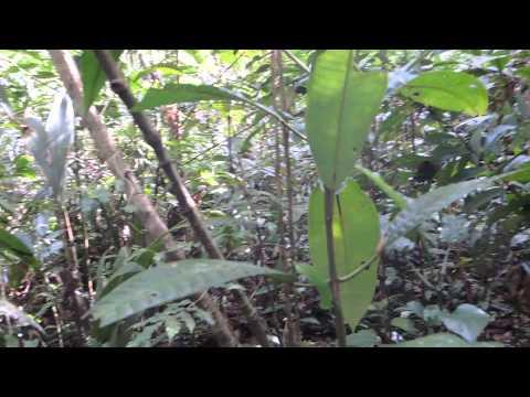 Canto do pássaro Capitão do Mato - Amazonas