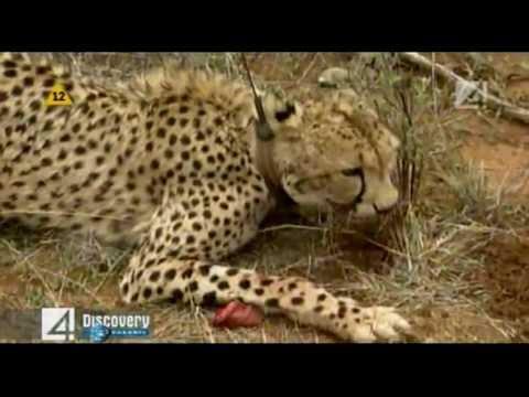 Gepard - Wyścig z czasem, Cheetah - Race Against Time / Discovery Channel