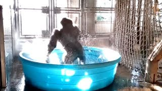 Watch: This dancing gorilla is breaking the Internet..